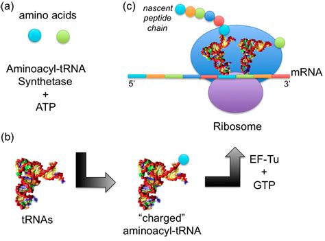IJMS   Free Full-Text   MD Simulations of tRNA and